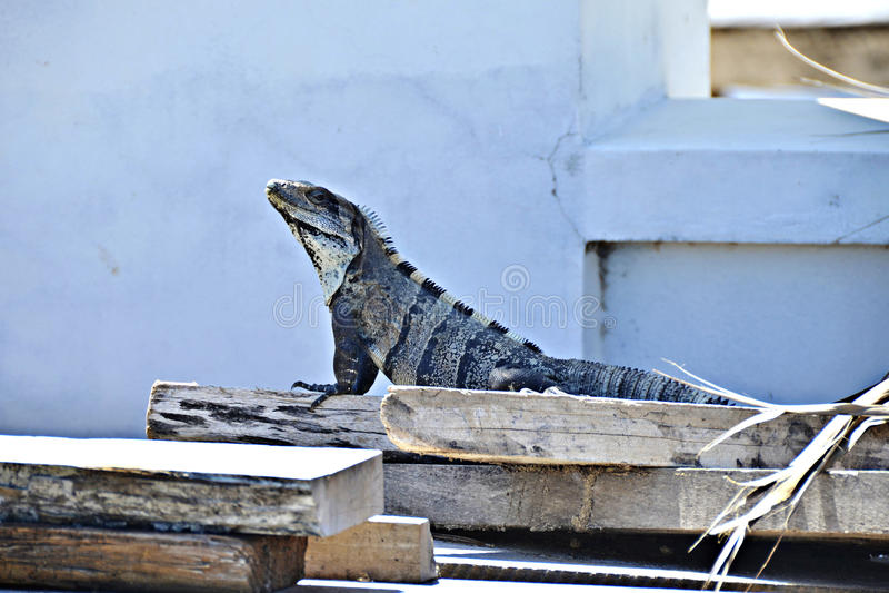 Una iguana en San Pedro, Belice imagen de archivo