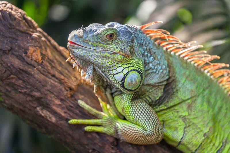 Una iguana grande verde está mintiendo en una rama de árbol imágenes de archivo libres de regalías