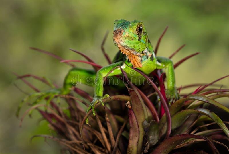 Una iguana joven en una planta fotos de archivo libres de regalías