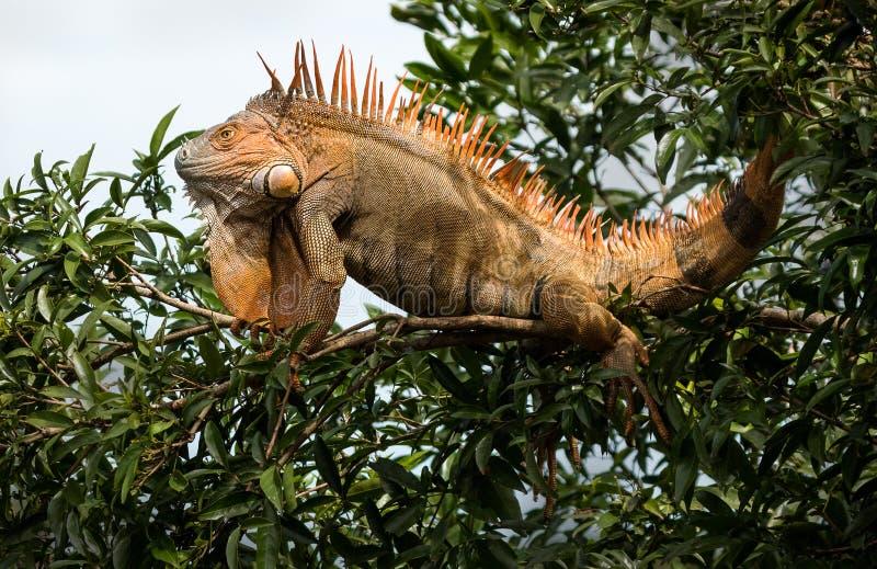 Una iguana masculina en un árbol fotos de archivo
