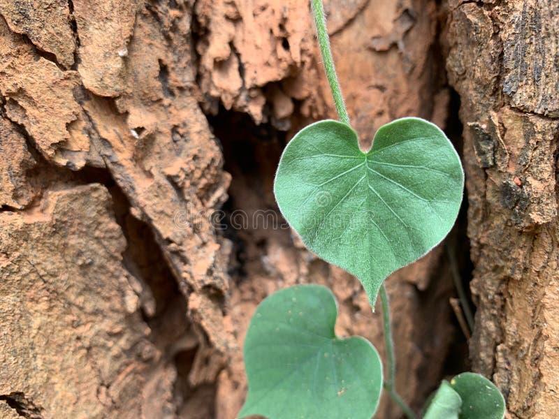 Una imagen ascendente cerrada de hojas en forma de corazón en un fondo grande del tronco de árbol foto de archivo libre de regalías