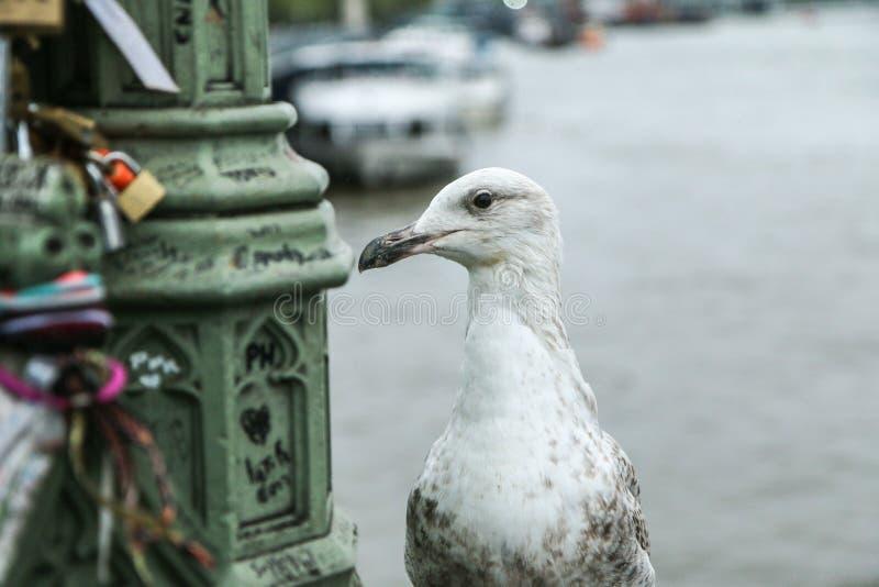 Una imagen del retrato de la gaviota curiosa fotos de archivo libres de regalías
