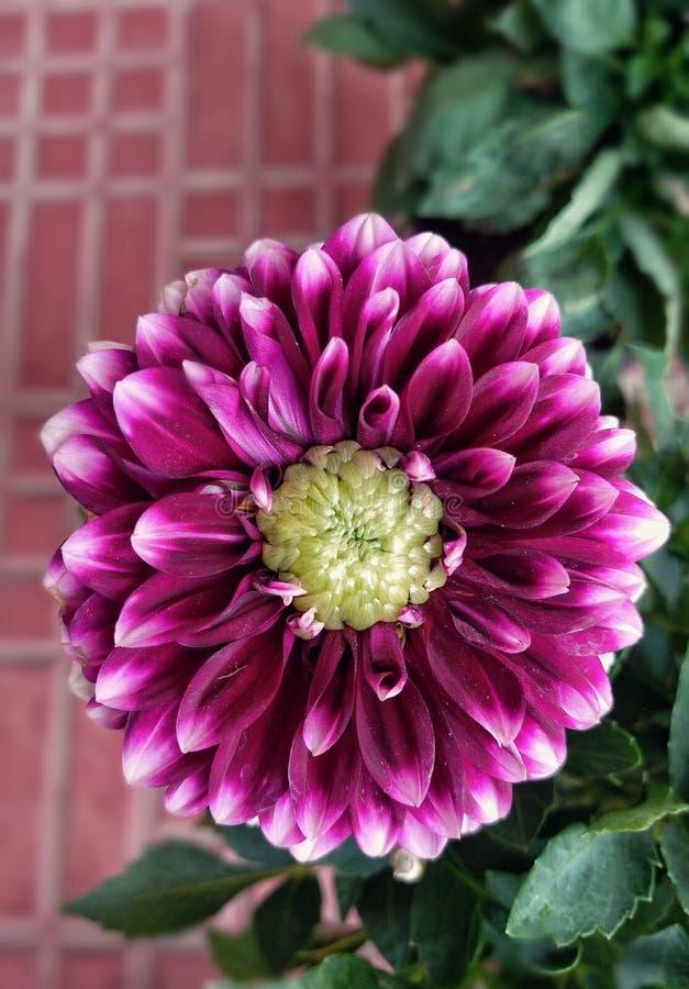 Una imagen hermosa de la flor de la dalia imágenes de archivo libres de regalías