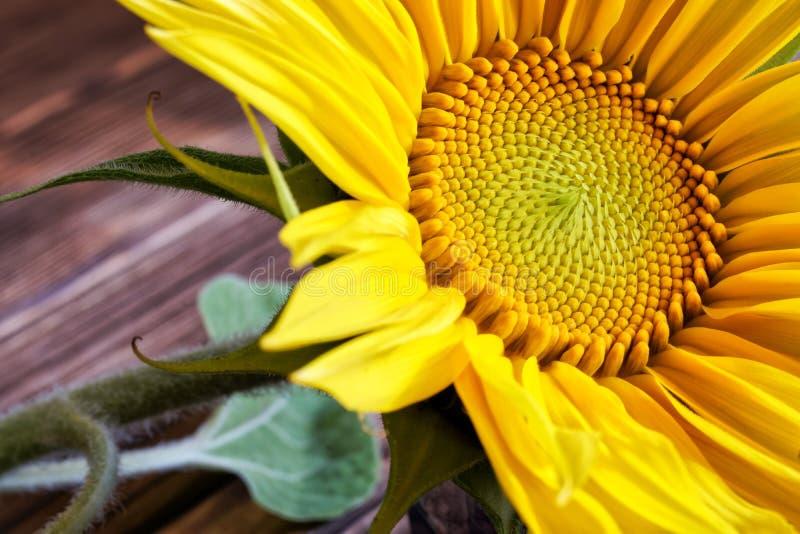 Una inflorescencia deliciosa de un girasol en una superficie de madera hecha de tableros del pino imagen de archivo libre de regalías
