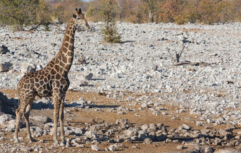 Una jirafa foto de archivo