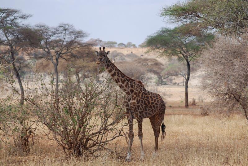 Una jirafa come las hojas en la sabana africana en Tanzania, África fotos de archivo libres de regalías