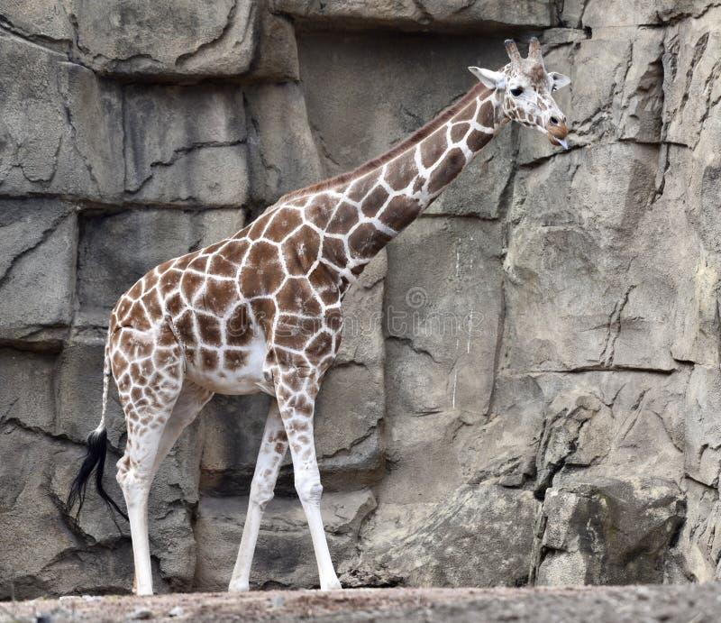 Una jirafa de Baringo fotos de archivo libres de regalías