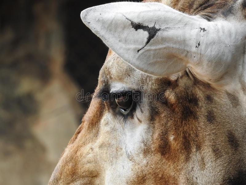 Una jirafa de la desesperación fotografía de archivo