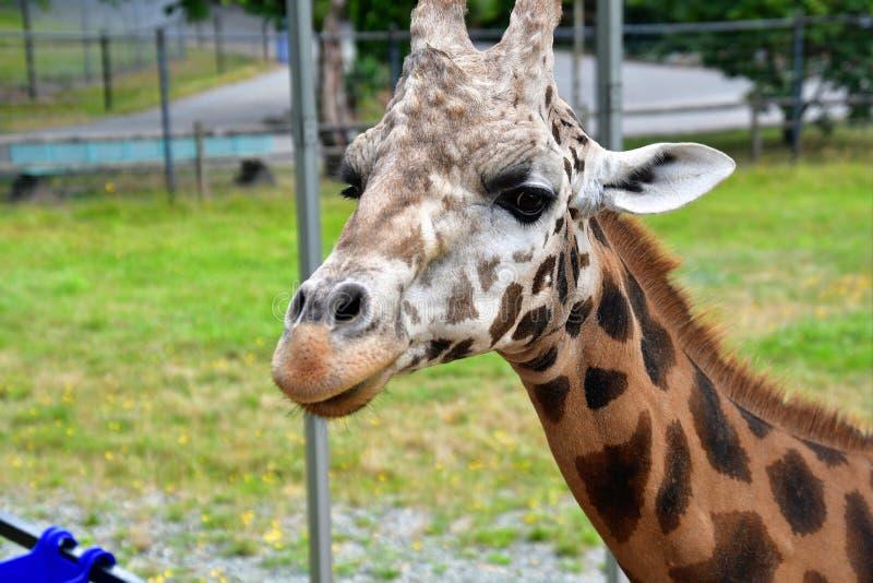 Una jirafa del primer que se coloca en la tierra fotografía de archivo libre de regalías