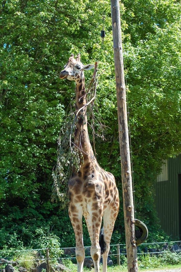 Una jirafa en el parque zoológico de Paignton en Devon, Reino Unido imagen de archivo libre de regalías