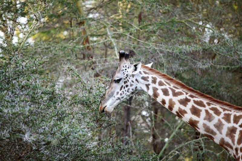 Una jirafa hermosa en la selva del lago Naivasha imagen de archivo libre de regalías