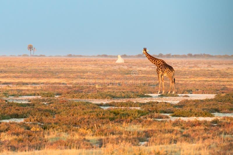 Una jirafa namibiana sola está mirando un termitary distante imagen de archivo libre de regalías