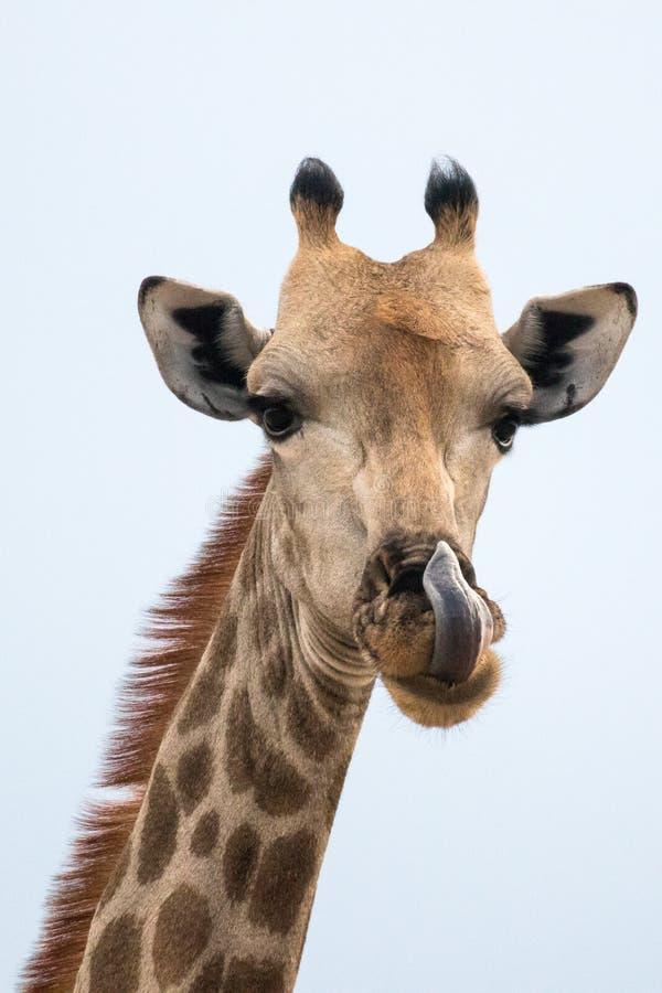 Una jirafa que se lame la nariz fotografía de archivo libre de regalías