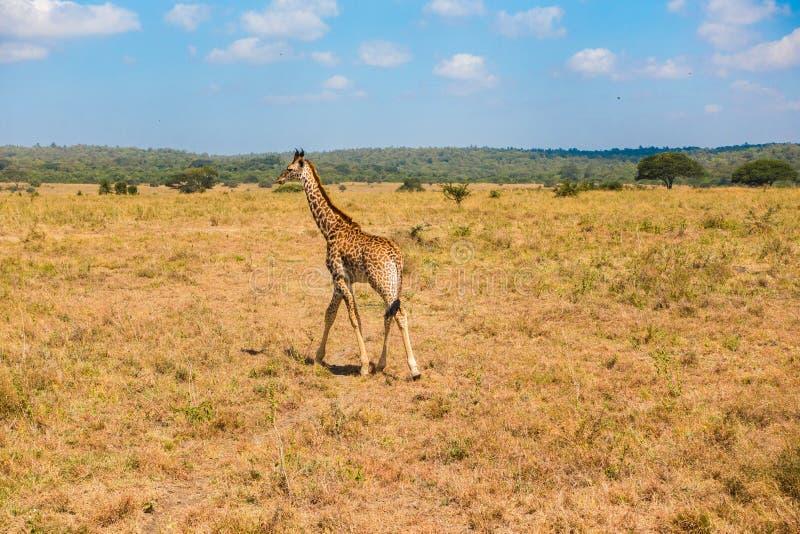 Una jirafa solitaria camina en el hábitat africano, parque nacional de Nairobi imagenes de archivo