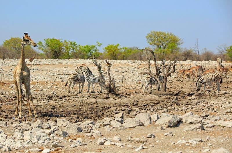 Una jirafa solitaria que hace una pausa un waterhole con la gacela y la cebra imagen de archivo libre de regalías