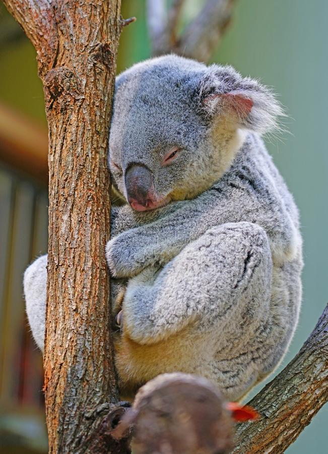 Una koala que duerme en un árbol de goma de eucalipto en Australia imagen de archivo
