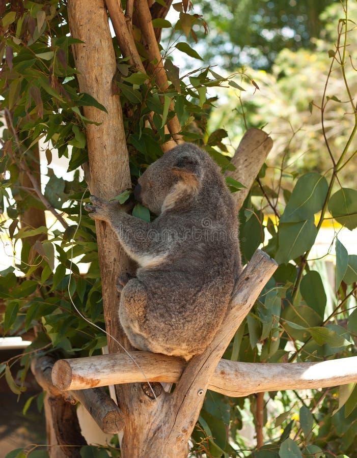 Una koala que sienta y que come las hojas del eucalipto imagen de archivo libre de regalías
