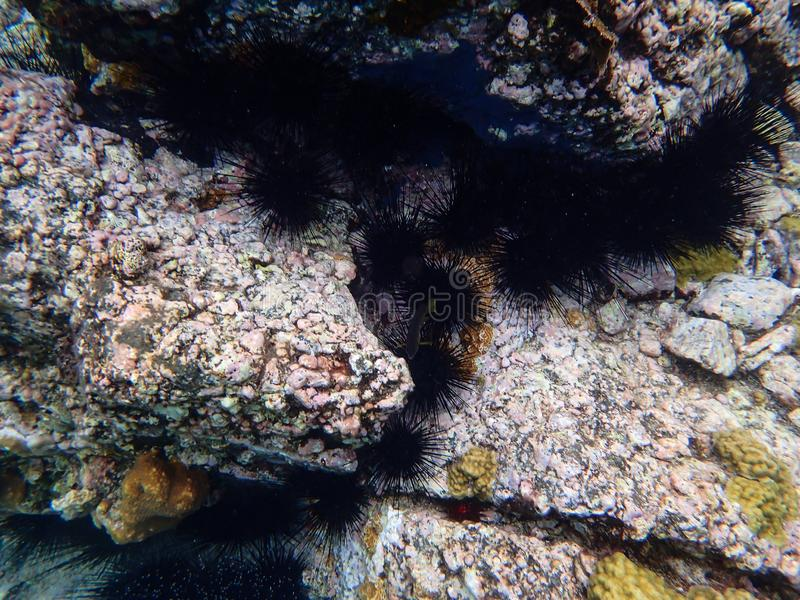 Una línea de erizos de mar imagen de archivo