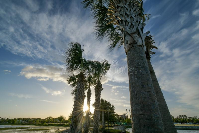 Una línea dentada de palmeras que soplan la sala trasera de los vientos fuertes a continuación en el medio de la hora de oro en q fotografía de archivo