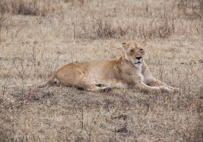 Una leona solitaria fotos de archivo