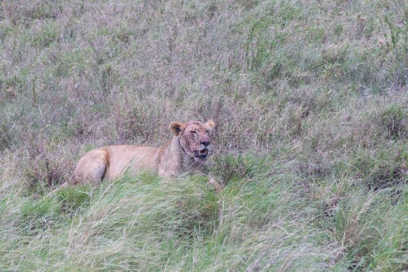 Una leona solitaria foto de archivo