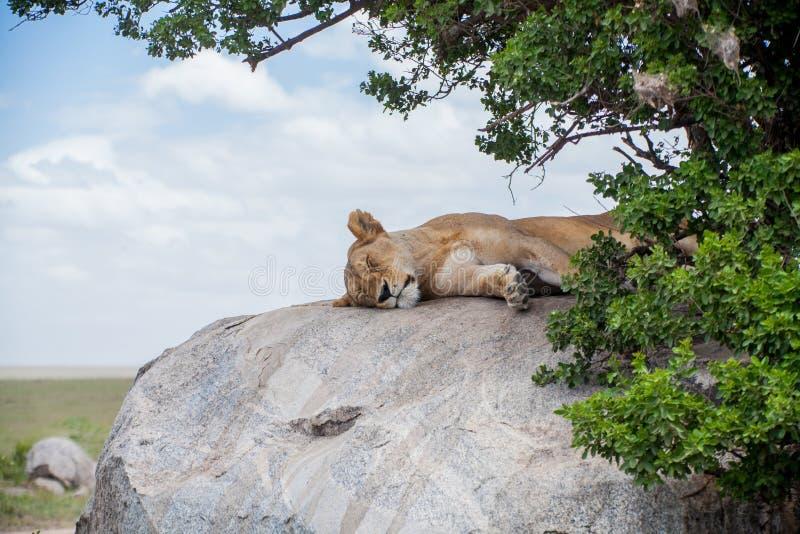 Una leona solitaria imagen de archivo libre de regalías