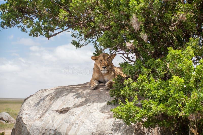 Una leona solitaria fotografía de archivo libre de regalías