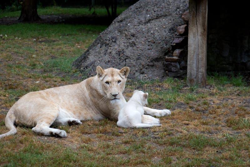 Una leona y su pequeño bebé del león con un fondo natural foto de archivo