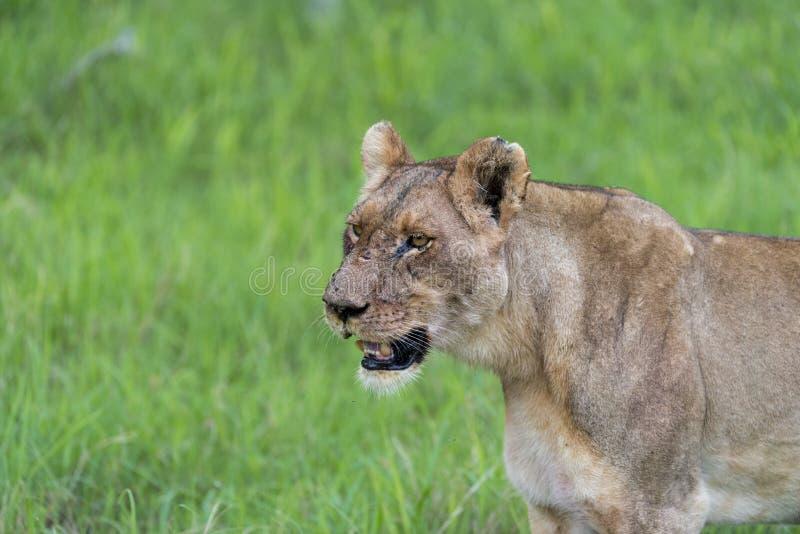 Una leonessa di mattina (2) fotografia stock libera da diritti