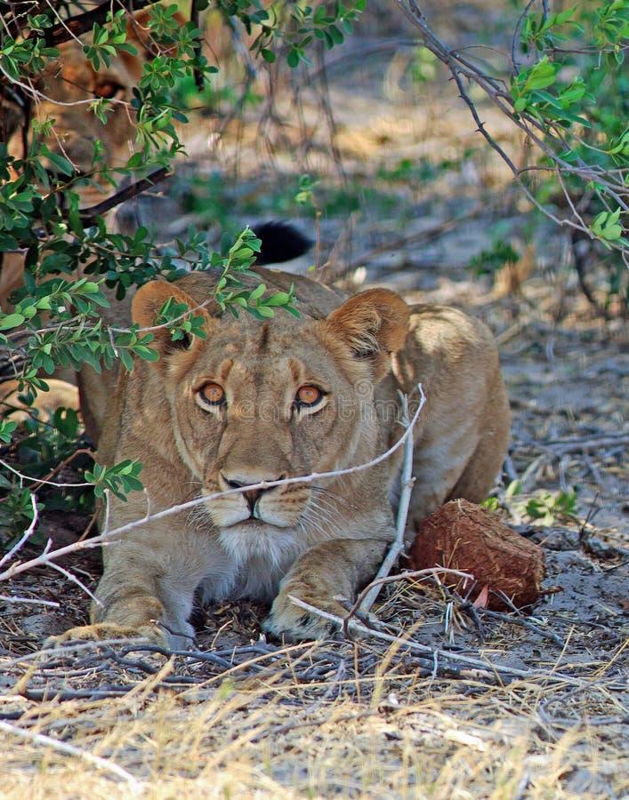 Una leonessa fissa direttamente avanti con un altro nel sottobosco fotografia stock
