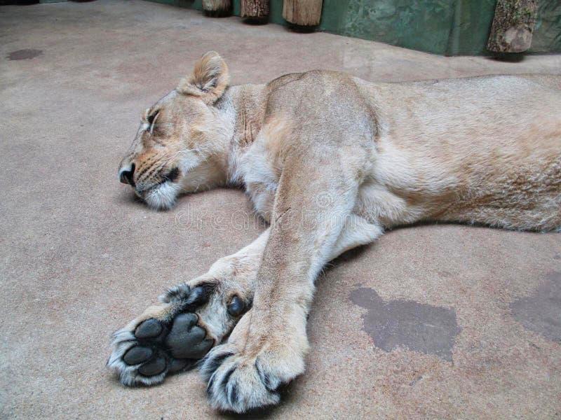 una leonessa sta dormendo sulla terra immagini stock