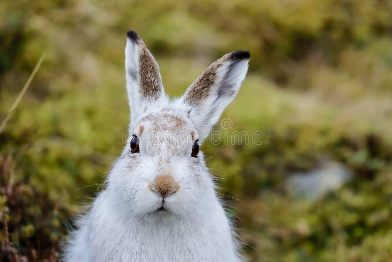 Una lepre della montagna fuori della sua di tana fine su fotografia stock