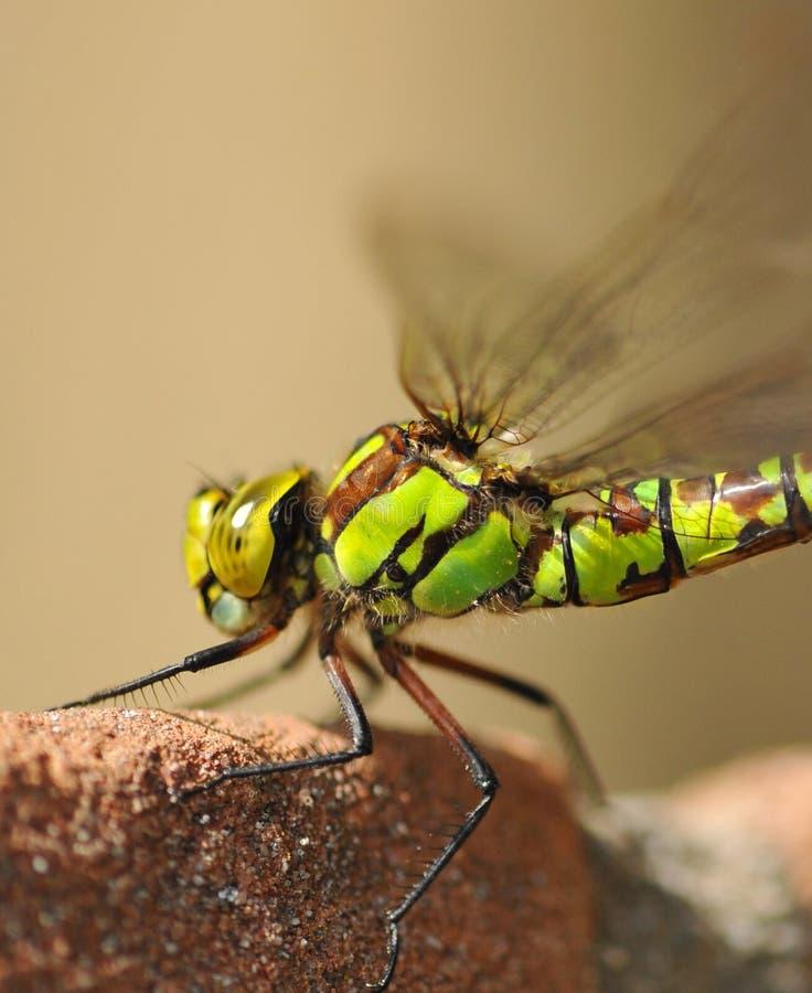 Una libélula imagen de archivo libre de regalías