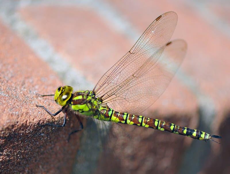 Una libélula imagenes de archivo