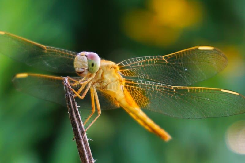 Una libélula amarilla con una sonrisa preciosa fotos de archivo