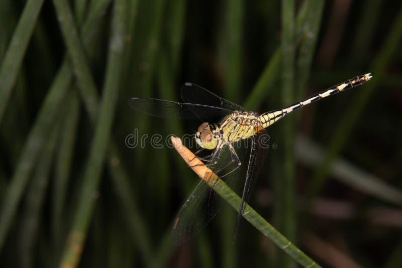 Una libélula amarilla se encaramó en la hoja verde imágenes de archivo libres de regalías