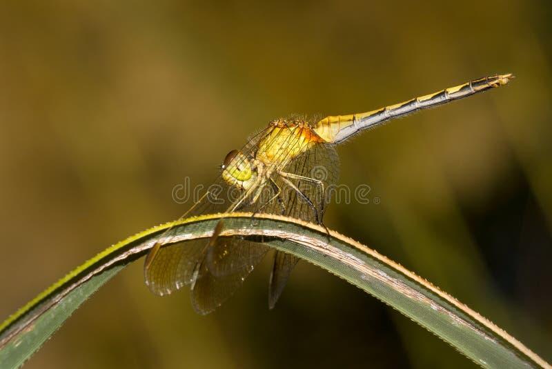 Una libélula encaramada fotografió en Buenos Aires, la Argentina imagenes de archivo