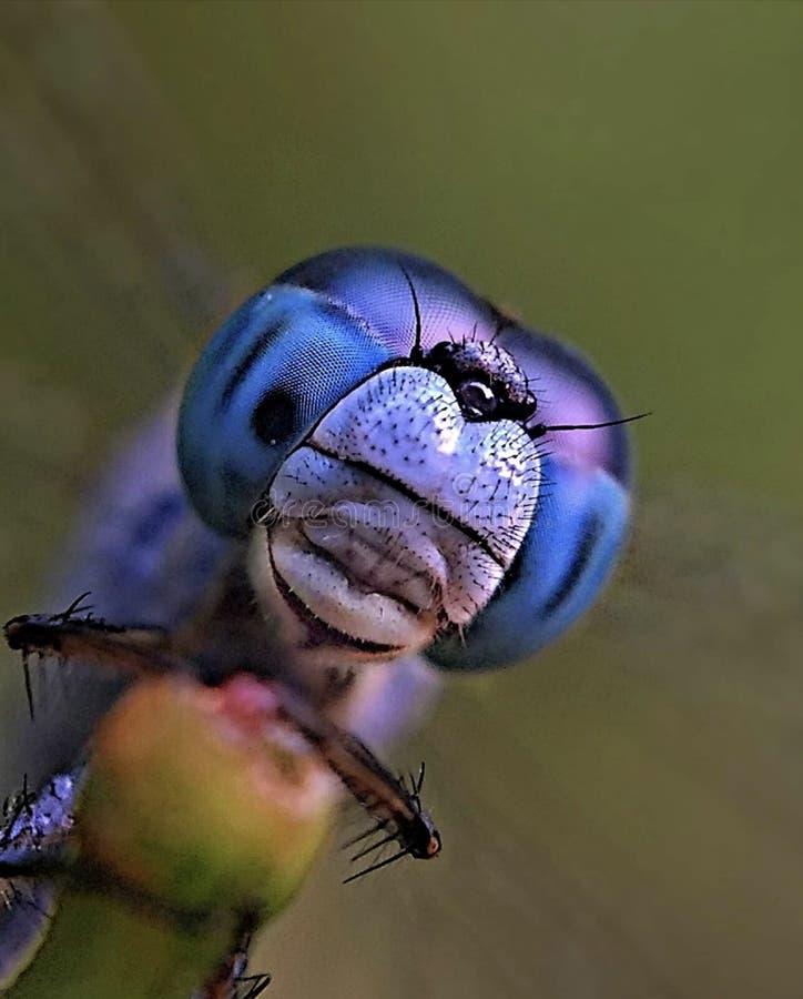 Una libélula hermosa fotos de archivo libres de regalías