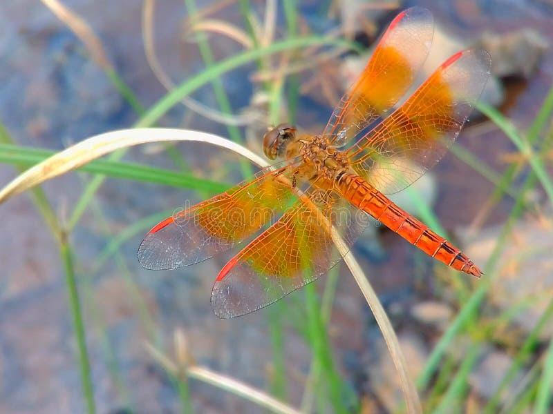 Una libélula localizada en la hoja de la hierba fotografía de archivo