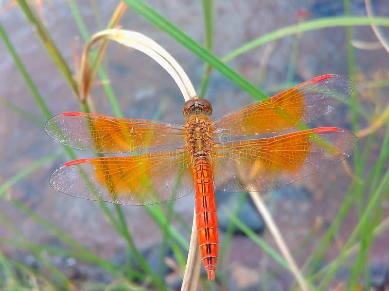 Una libélula localizada en la hoja de la hierba imagenes de archivo
