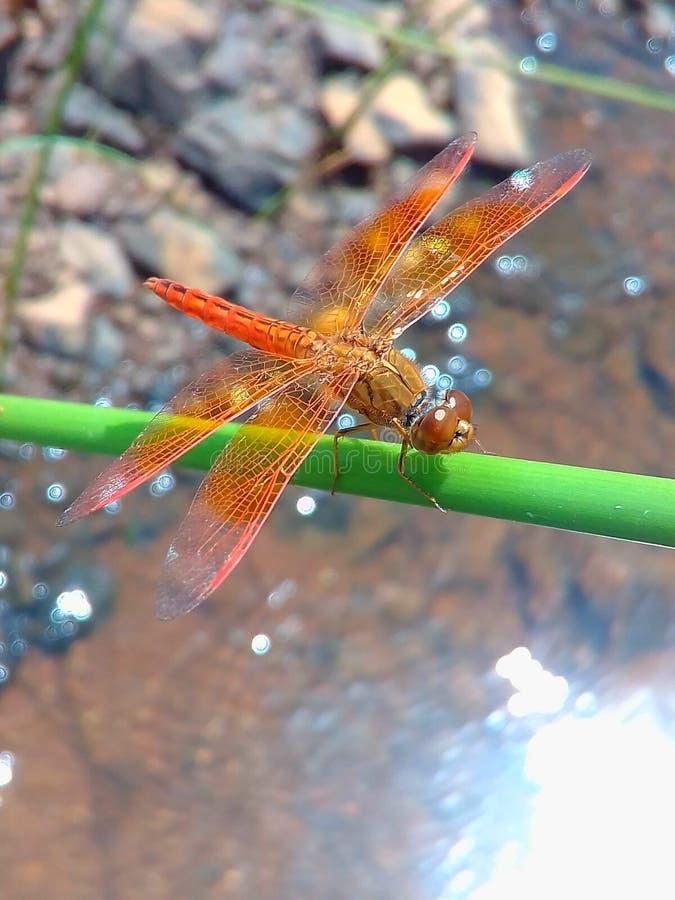 Una libélula localizada en la hoja de la hierba foto de archivo libre de regalías