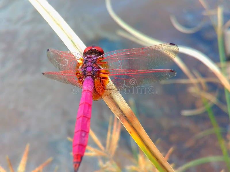 Una libélula localizada en la hoja de la hierba imágenes de archivo libres de regalías