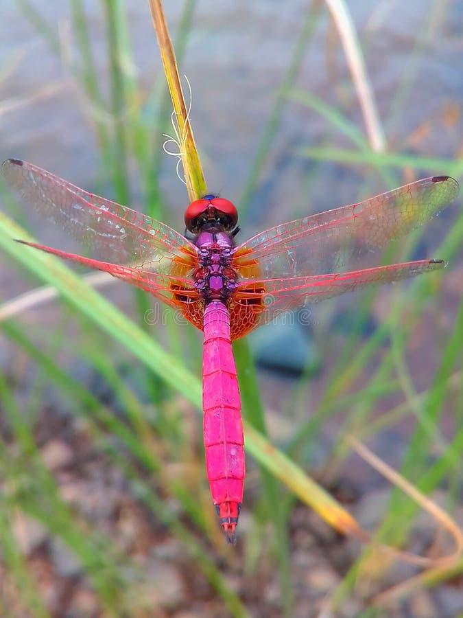 Una libélula localizada en la hoja de la hierba foto de archivo
