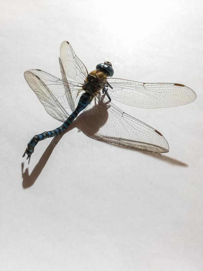 Una libélula muerta en el fondo blanco imagen de archivo