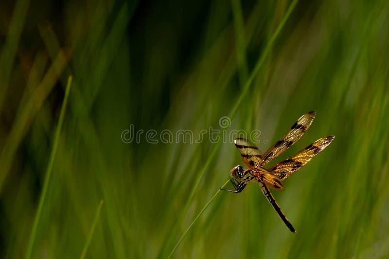 Una libélula se aferra en las hierbas de la playa a lo largo de la playa imagen de archivo libre de regalías