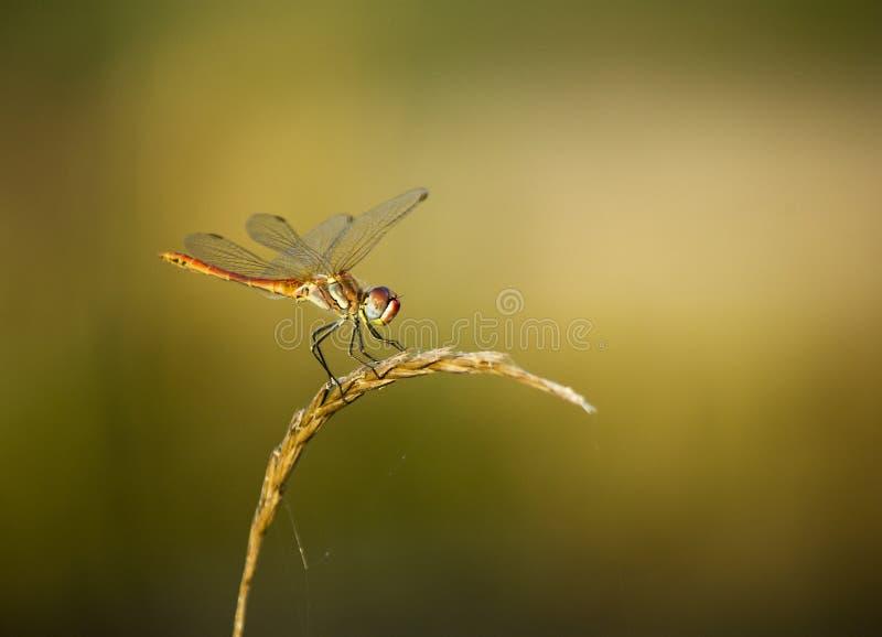 Una libélula tiene un resto imágenes de archivo libres de regalías