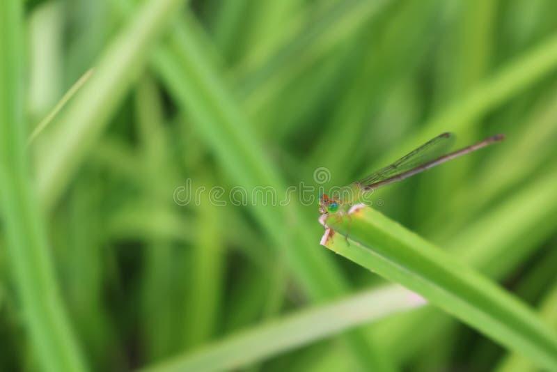 Una libélula verde pequeña, de cola larga en las hojas en el jardín imagen de archivo libre de regalías