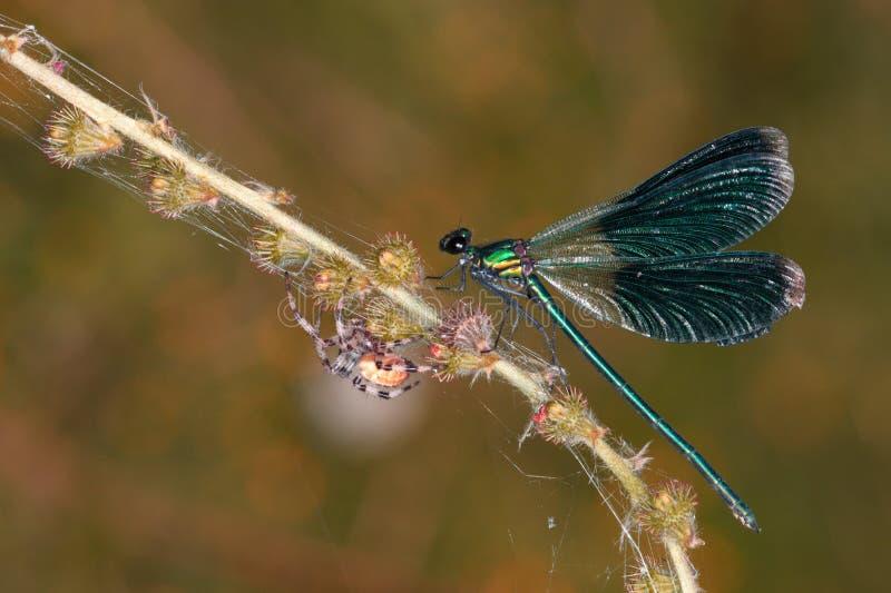 Una libélula verde y una araña cruzada grande en una rama de una planta floreciente fotografía de archivo libre de regalías