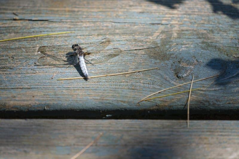 Una libellula che riposa su un bacino di legno fotografia stock
