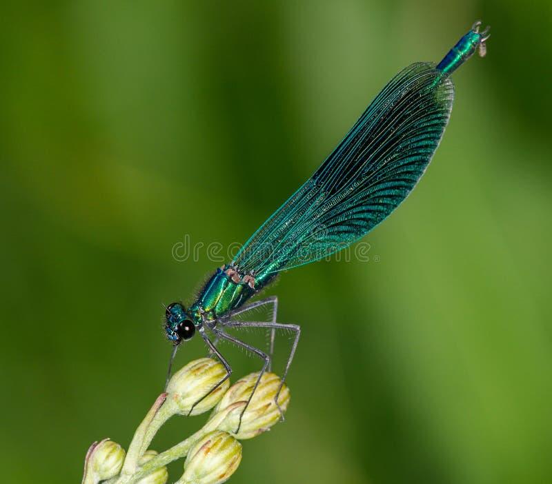 Una libellula di macro del turchese fotografia stock